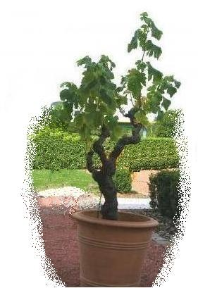 quand planter les framboisiers photos de conception de maison agaroth